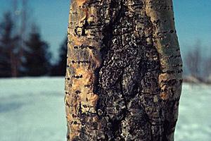 Chancre : une maladie frquente sur les arbres fruitiers - Gerbeaud