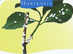 Identification et lutte contre les ravageurs - Maladie des hortensias photos ...