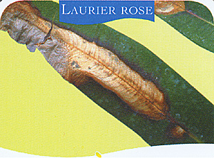 Maladies - Laurier rose feuilles seches ...